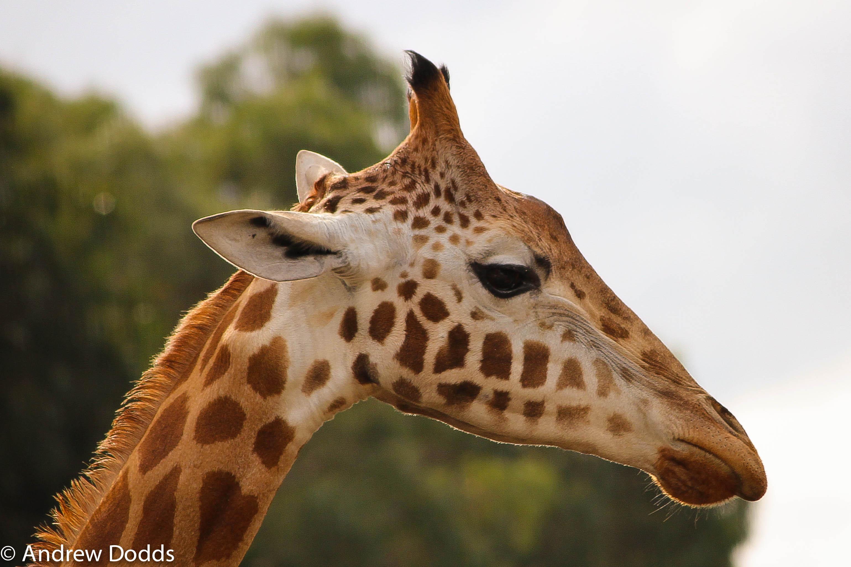 Profile of Giraffe - H...
